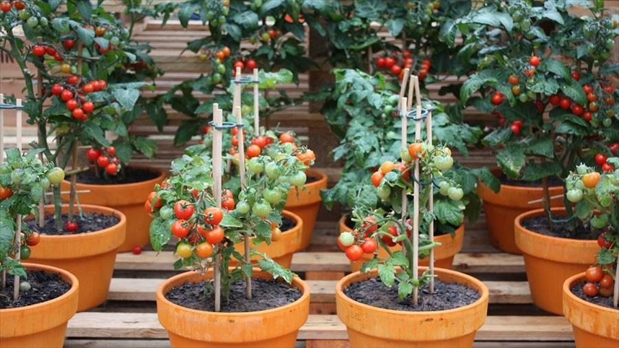 toprak saksısında domates